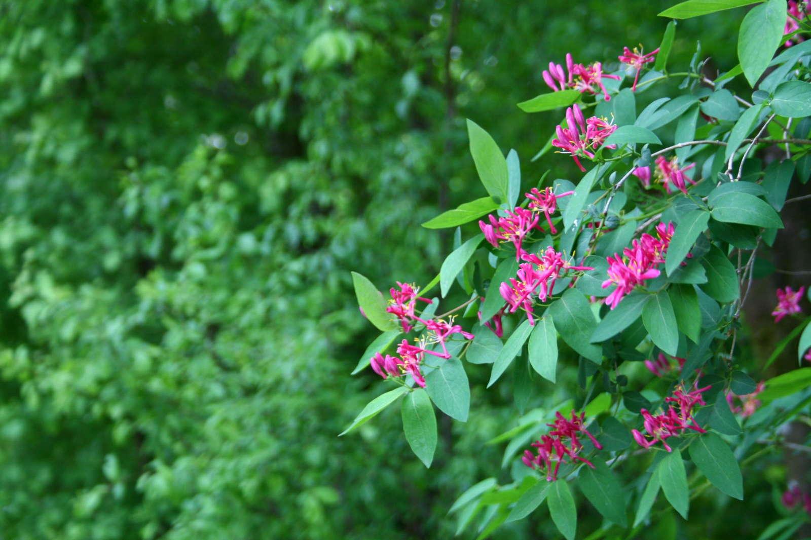 Blüte der Heckenkirsche