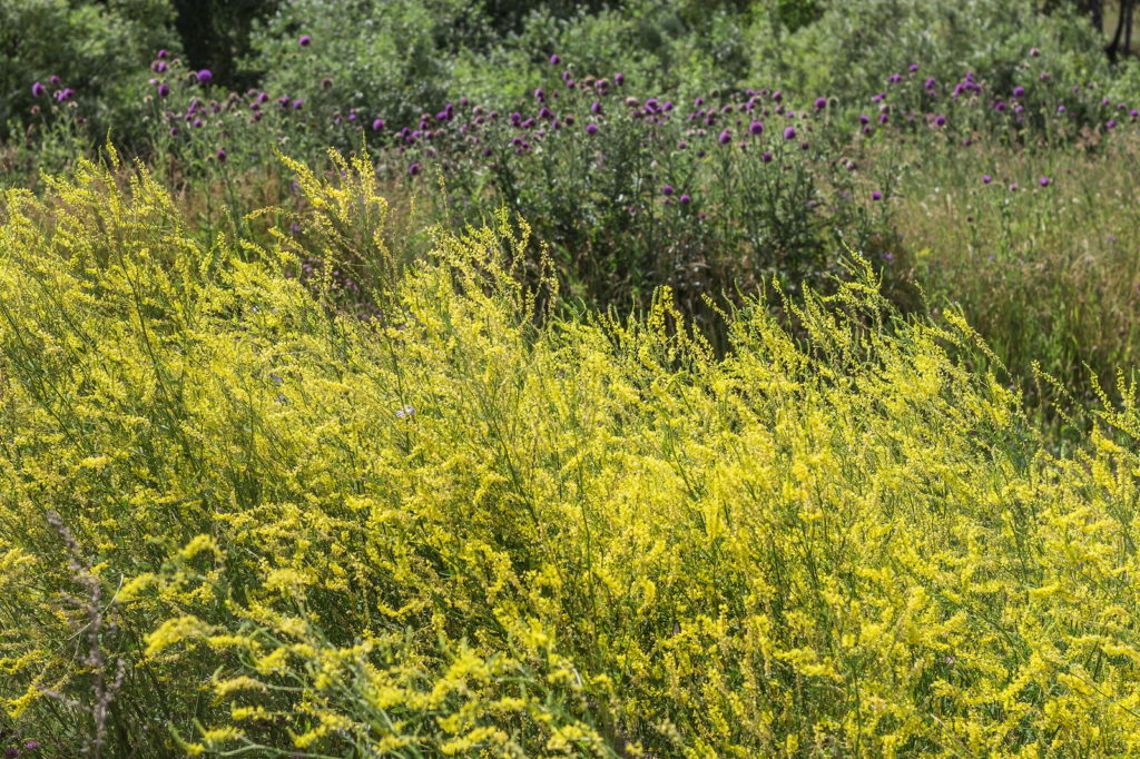Honigkleefeld in Gelb