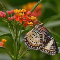 Indianerseidenpflanze Mit Schmetterling
