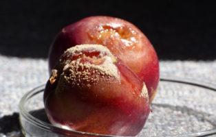 Monilia Fruchtfäule Spitzendürre An Nektarine