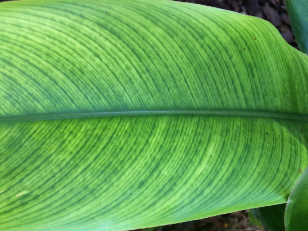 Paradiesvogelblume Blatt Chlorose