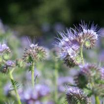 Blühende Phacelia (Bienenfreund)
