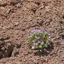 Phacelia Auf Kargem Boden
