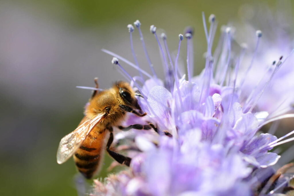 Biene auf Blüte des Bienenfreunds in der Nahaufnahme