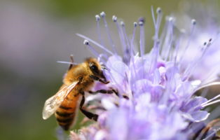 Top 10 Der Bienenfreundlichsten Pflanzen