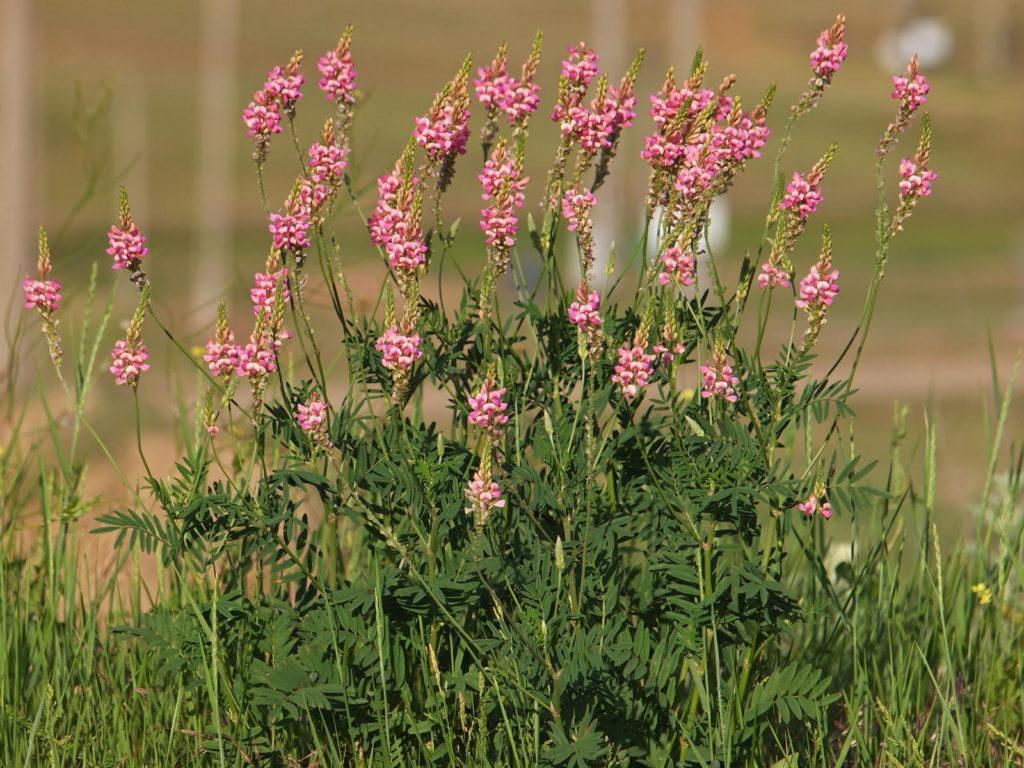 Saat-Esparsette mit pinken Blüten