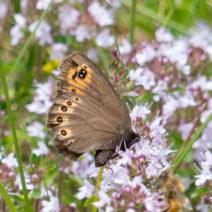 Schmetterling Mit Thymian