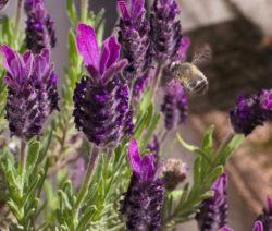 Schopflavendel Lockt Bienen An