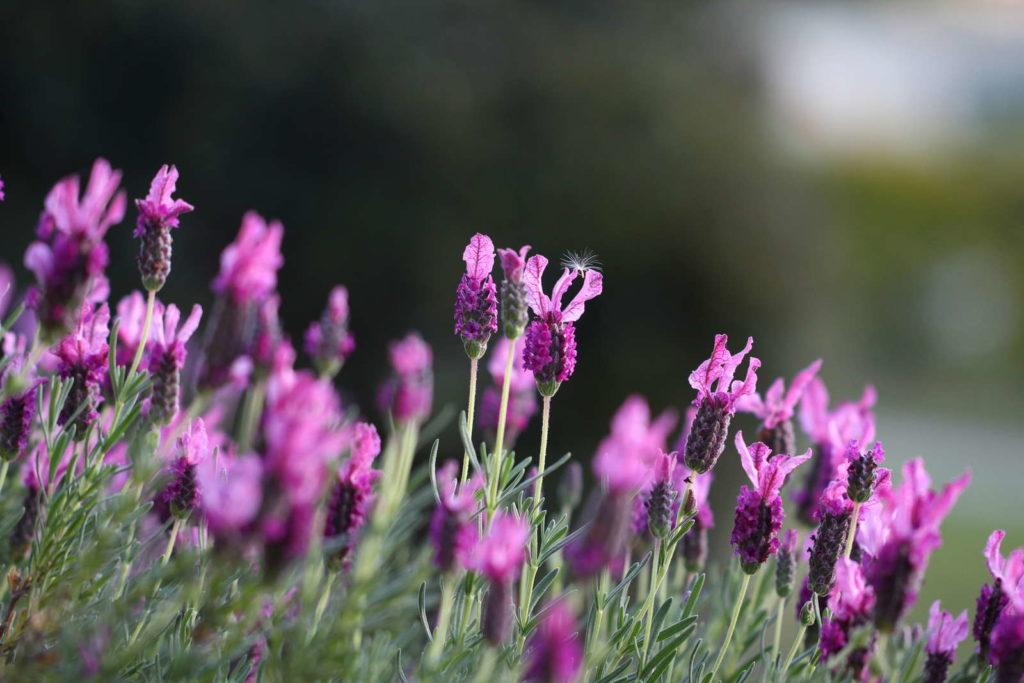 Schopflavendelblüten lila mit Hintergrund