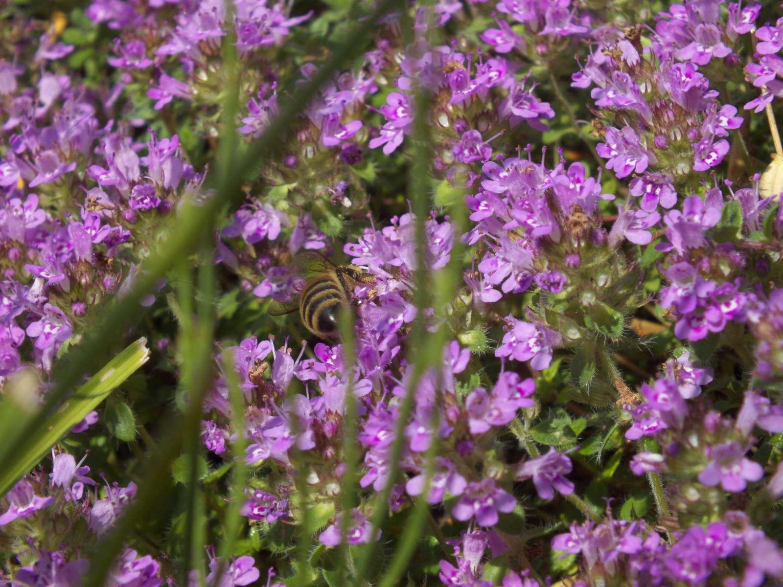 Top 10 der bienenfreundlichen pflanzen bersicht for Bienenfreundlicher garten
