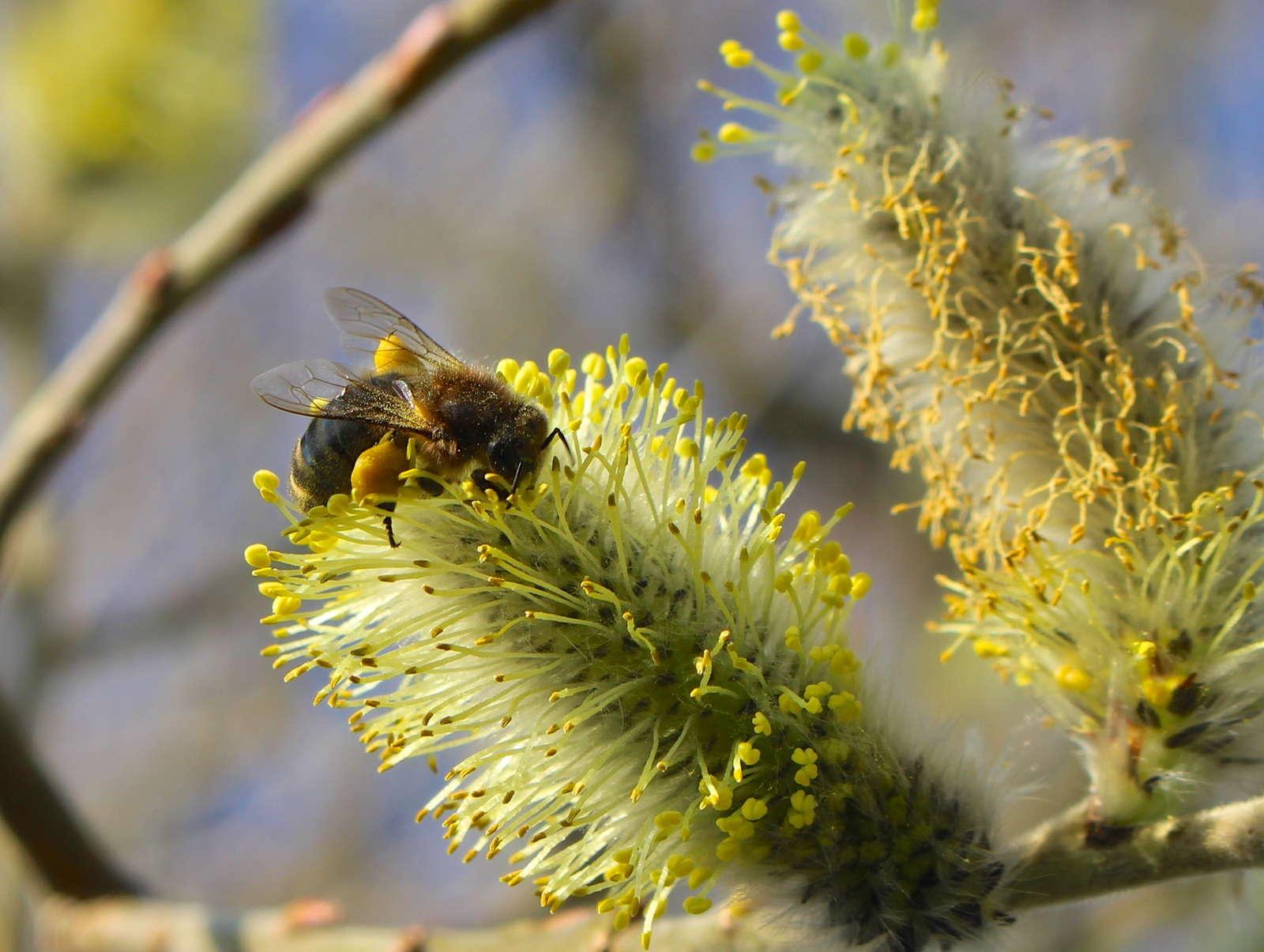 Biene auf Weide