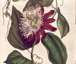 Zeichnung Maracuja Passionsfrucht