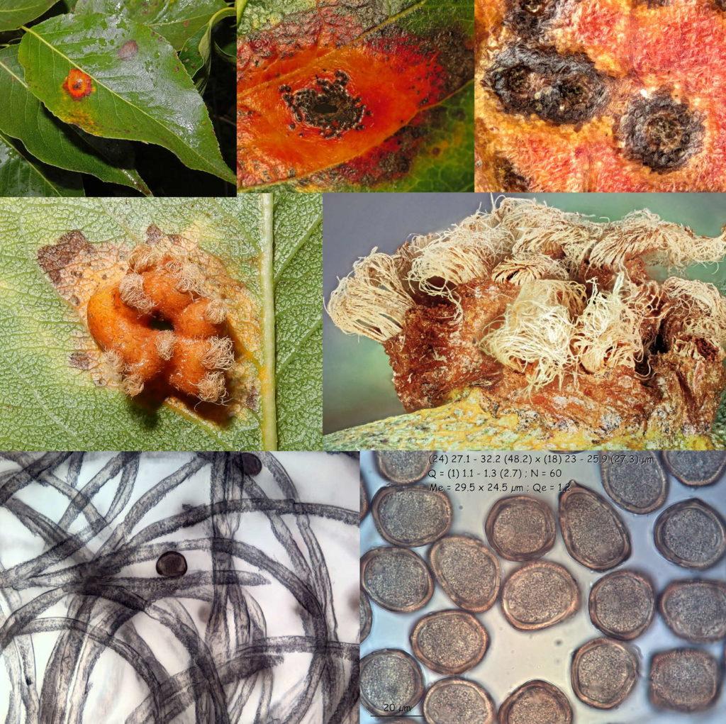 Schadbild und Pilz Birnengitterrost