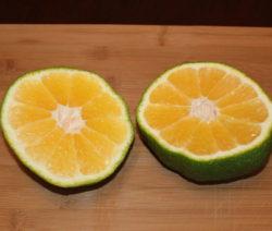 Aufgeschnittene Ugli Frucht