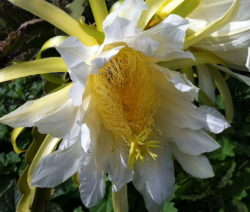 Blühende Drachenfrucht Pitahaya