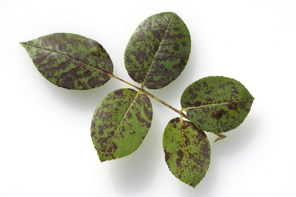 Falscher Mehltau auf Blättern