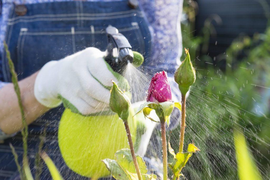 Person spritzt Flüssigkeit auf Rosenpflanzen