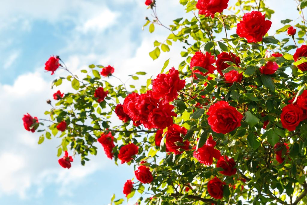 Blühender Rosenstrauch mit roten Rosen