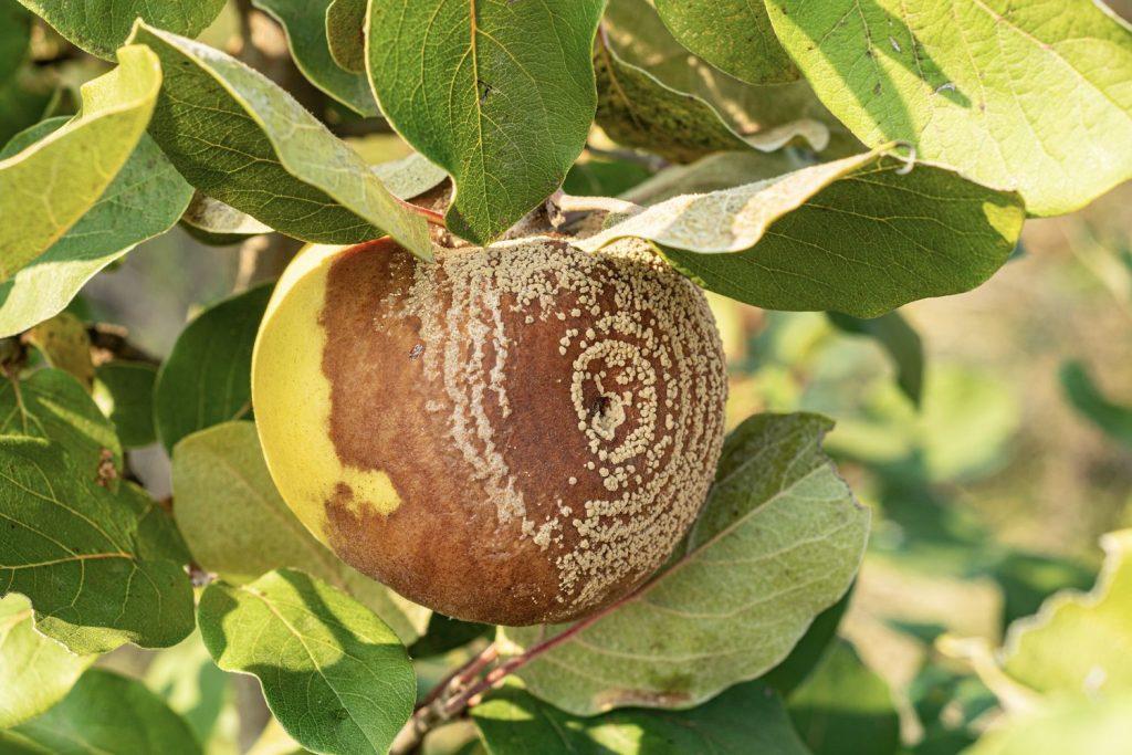 Monilia an Apfel