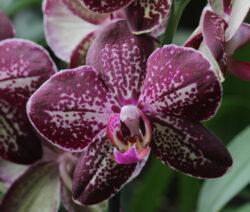 Lila Violette Orchidee