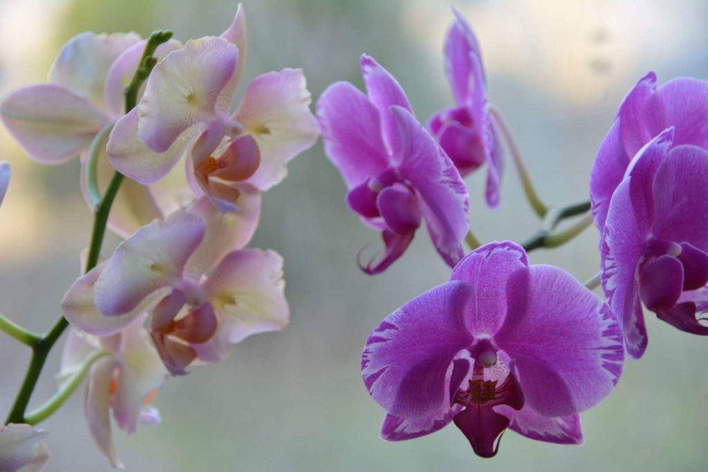 Orchideen weiß und lila