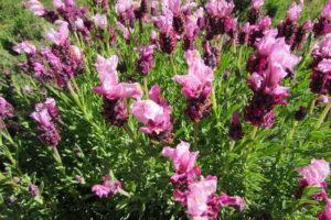 Rosa Schopflavendel Im Garten