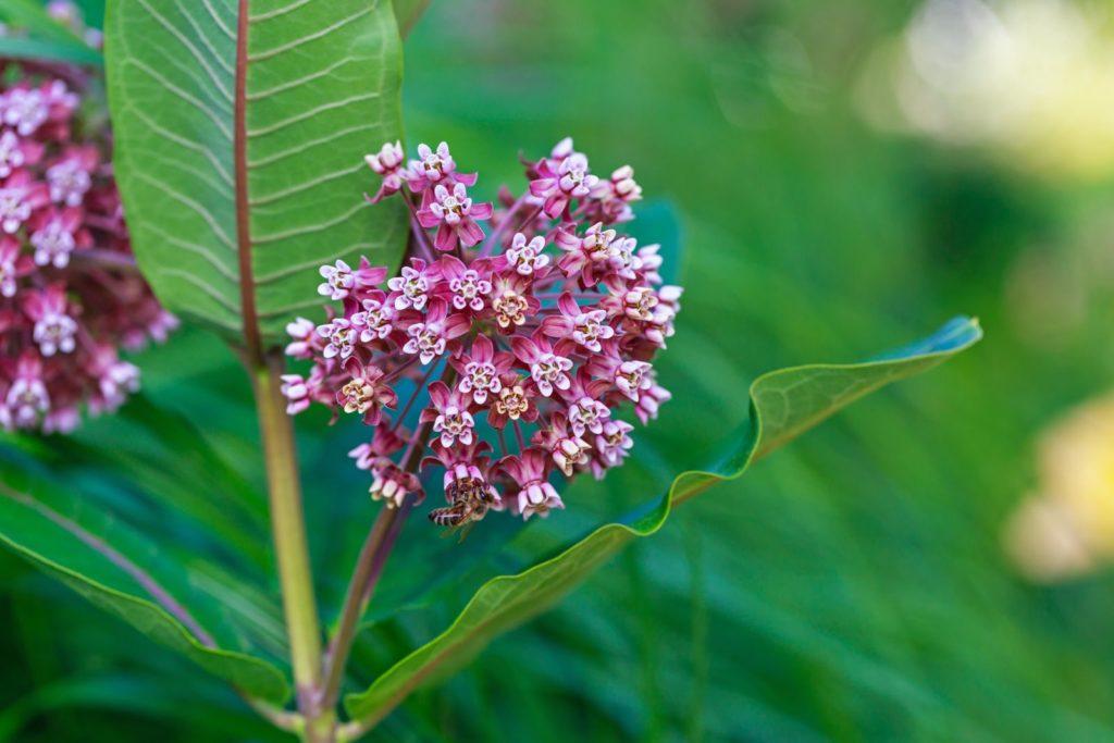 Blühende Seidenpflanze