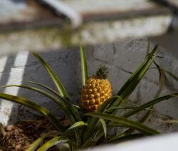 Ananas Reif Im Lost Heligan Garden