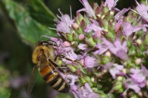Biene Auf Majoranblüte
