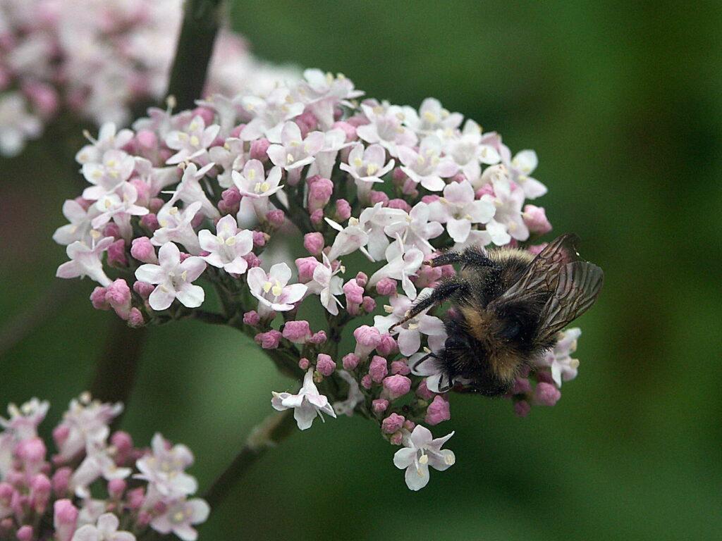 Blüte Baldrian mit Hummel