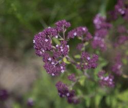Blüte Marjoran