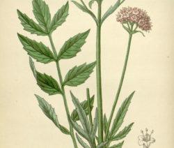 Botanik Baldrian