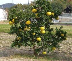 Dekopon Baum Mit Teuren Früchten