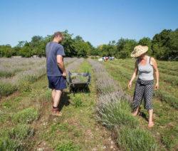 Handernte Lavendel Auf Feld Mit Zwei Erntehelfern