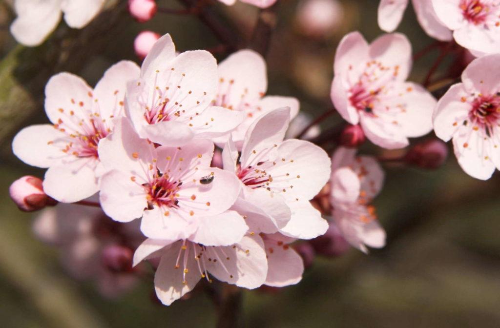 Kirschblüte Blutkirsche (Prunus cerasifa 'Nigra')