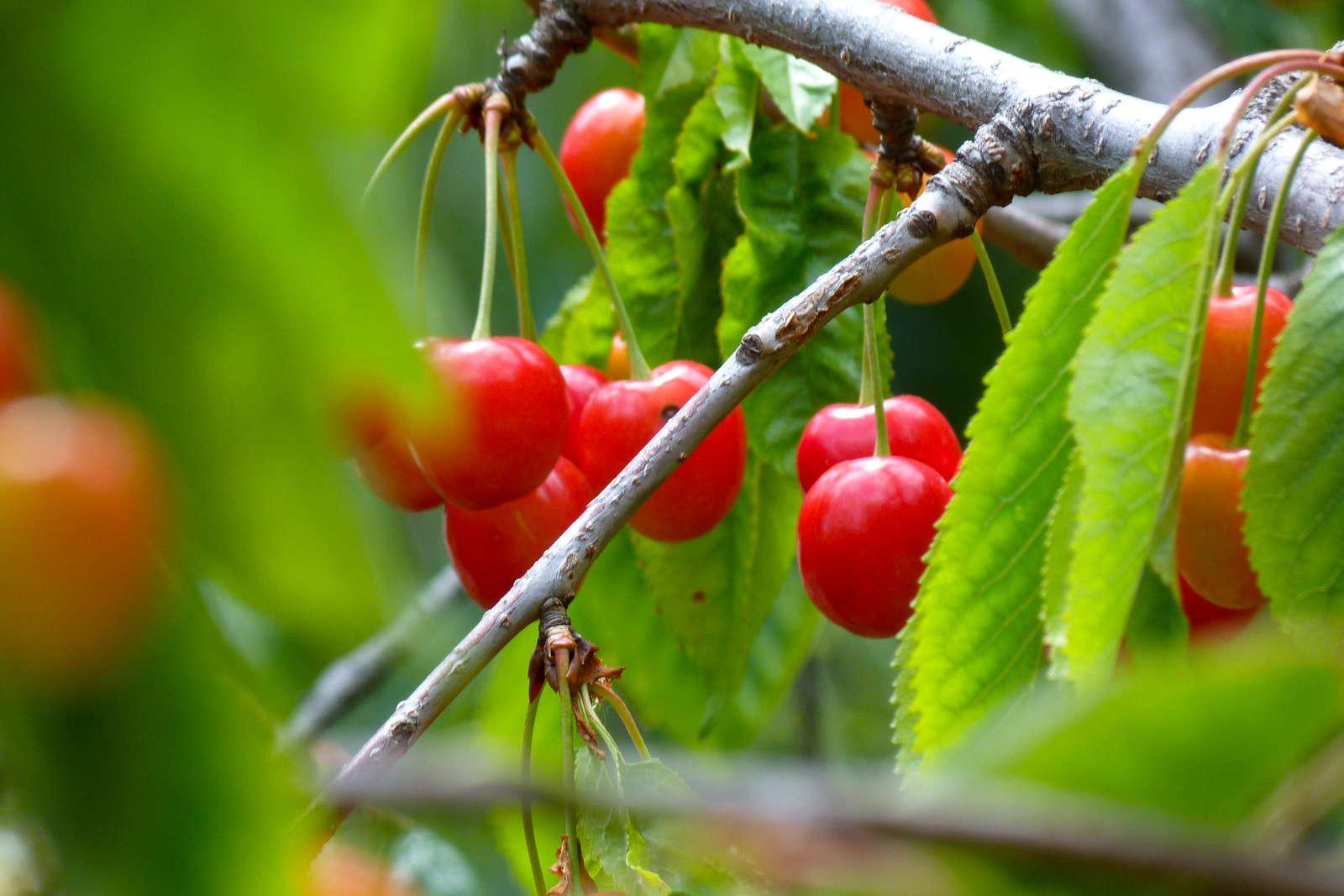 Wie kam die kirsche nach europa plantura - Baum auf spanisch ...
