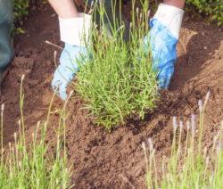 Lavendel Im Garten Pflanzen