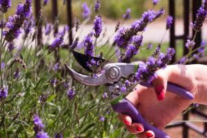 Lavendel Mit Gartenschere Schneiden
