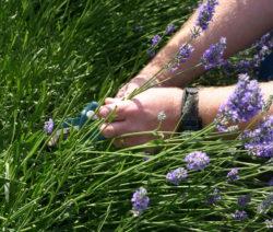 Lavendel Schneiden Im Garten Mit Schere
