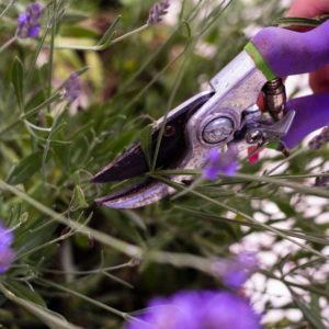 Lavendel Schneiden 2