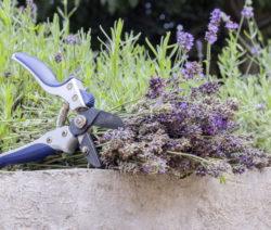 Geschnittener Lavendel Im GArten Mit Gartenschere Auf Mauer