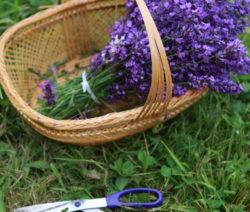 Lavendelbündel In Korb Mit Schere