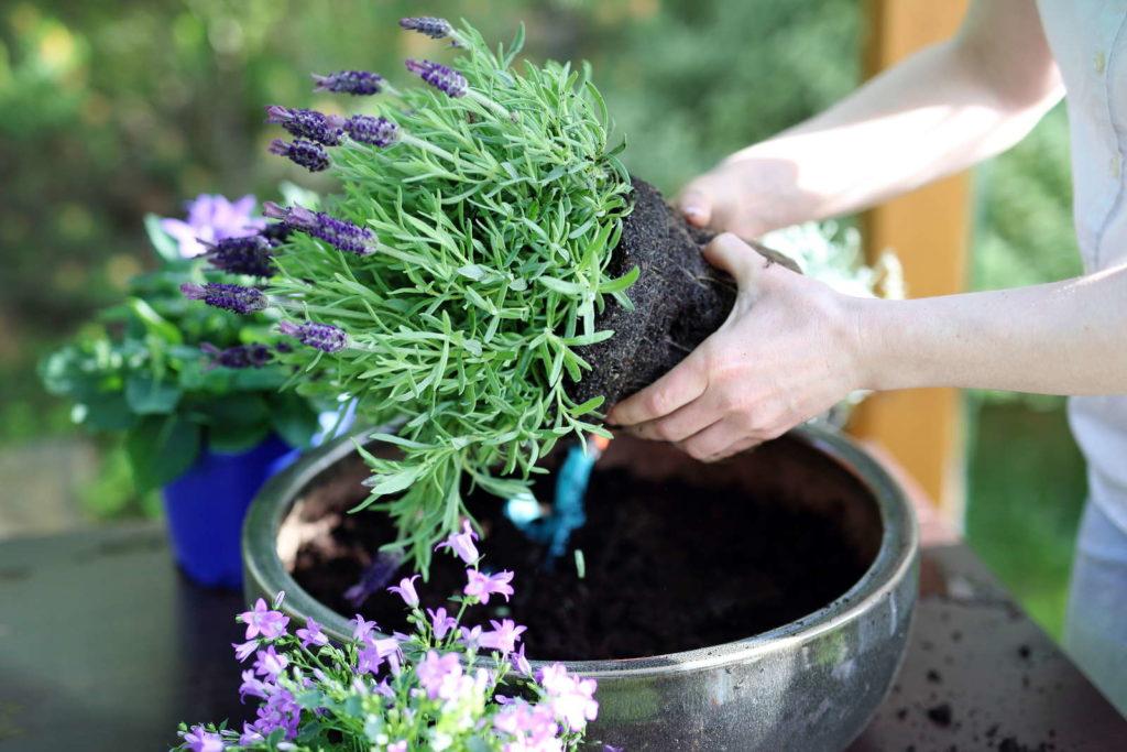 Lavendel umtopfen
