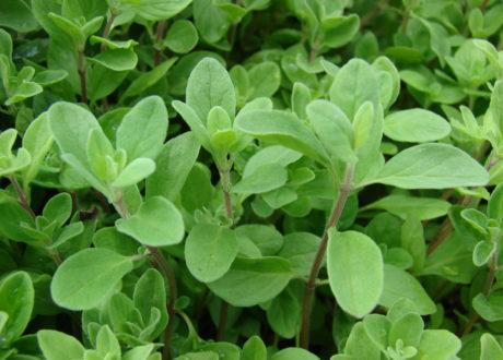 Majoran: Würziges Aroma Aus Dem Eigenen Garten