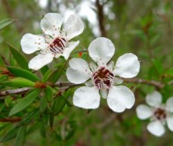 Manuka Blüte Weiß