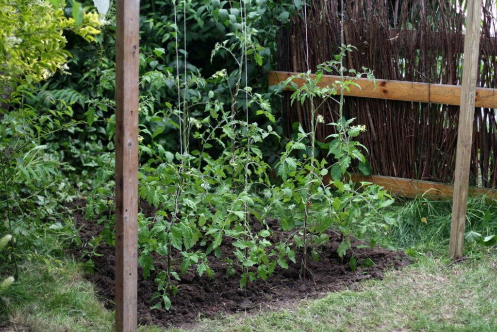 tomaten d ngen fl ssigd nger pferdemist kompost co plantura. Black Bedroom Furniture Sets. Home Design Ideas