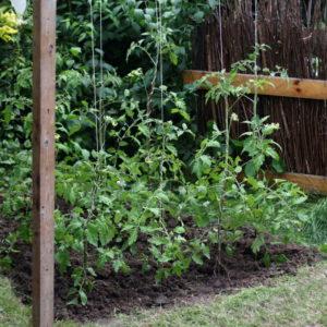 spargel anbauen von samen und jungpflanzen zur. Black Bedroom Furniture Sets. Home Design Ideas