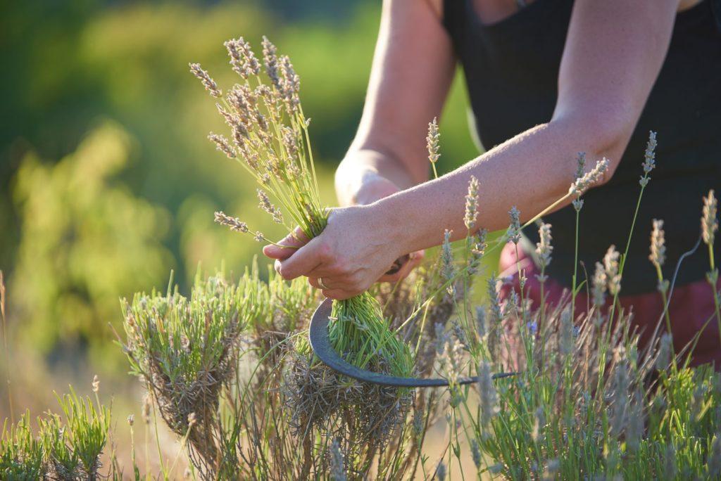 Verholzter Lavendel wird mit einer Sense geschnitten