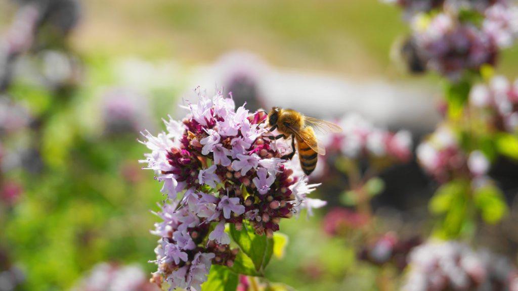 Biene auf Baldrianblüte