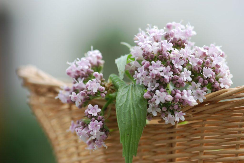 Baldrian-Blüten in einem Korb